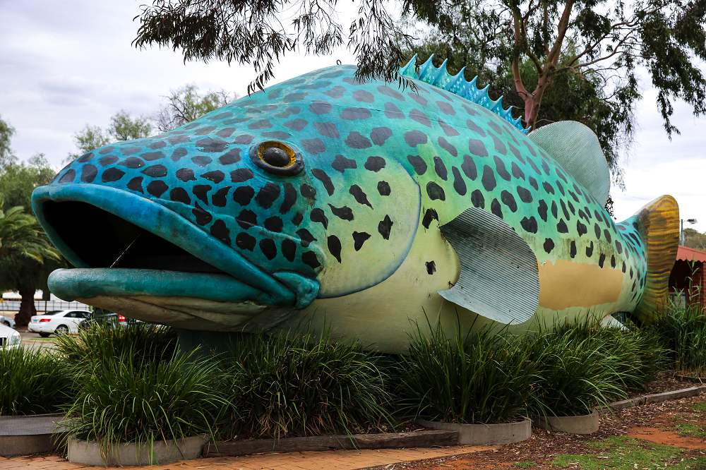 Swan Hill Murray Cod